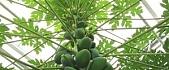 Obiranje prekmurske papaje